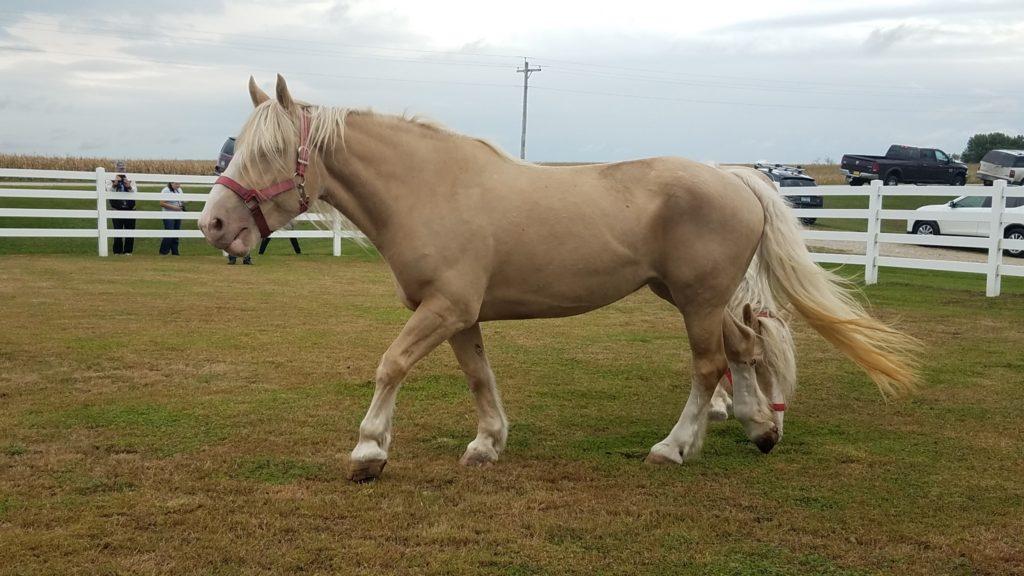 Acdha American Cream Draft Horse Association